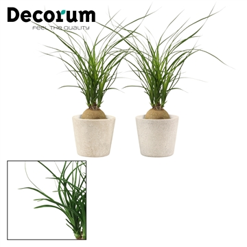 Beaucarnea bol 9 cm in Evy (Deco-collection)