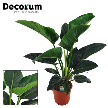 Philodendron Congo Millions 27 cm