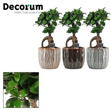 Ficus Ginseng Bonsai geënt 12 cm in Rio (Deco-collection)
