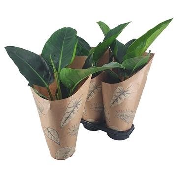 Philodendron Congo Millions 19 cm Kraft