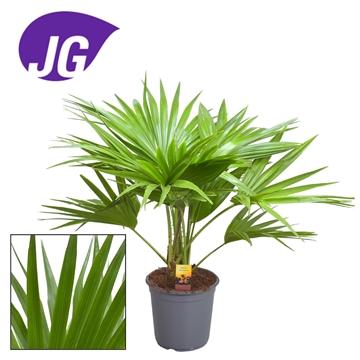 Livistona rotundifolia 3pp