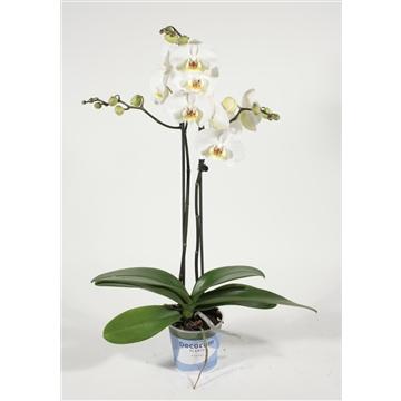 Phalaenopsis 2 tak Bristol (Decorum)