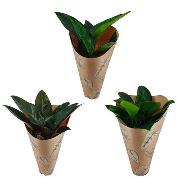Philodendron Congo Mix 19 cm Kraft