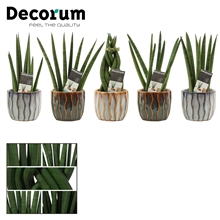 Sansevieria Cylindrica 6 cm mix in Rio (Deco-collection)