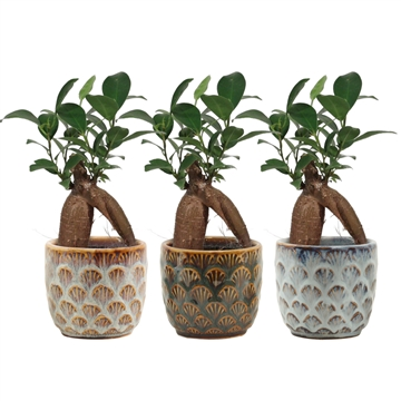 Ficus Ginseng Retusa 6 cm in Zody (Deco-collection)