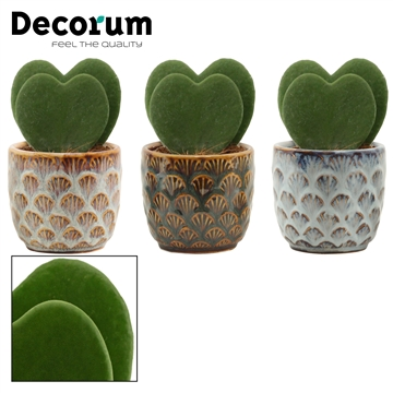 Hoya Kerrii Double 6 cm in Zody (Deco-collection)
