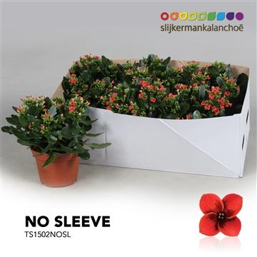 Kalanchoë No Sleeve - Tiger Red Single