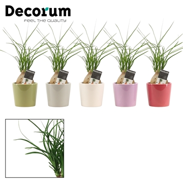 Beaucarnea bol 6 cm in Isa (Soft Illusion-collection)
