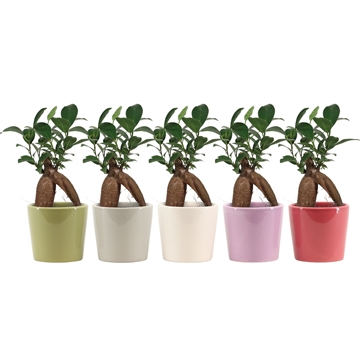 Ficus Ginseng Retusa 6 cm in Isa (Soft Illusion-collection)