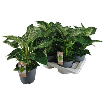 Philodendron Berkin 17 cm