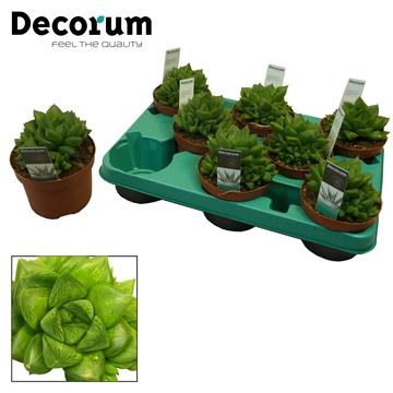 Haworthia cooperi (Decorum)