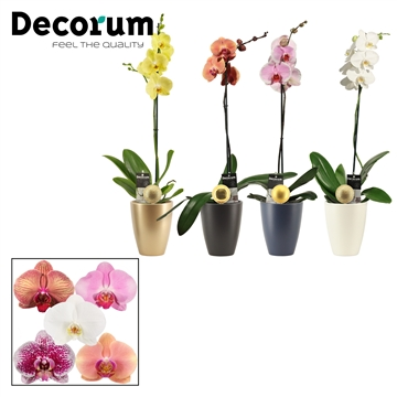 Phalaenopsis 1 tak mix in Carly met kerstbal (Neo Architect-col)