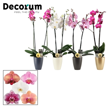 Phalaenopsis 2 tak mix in Carly met kerstbal (Neo Architect-col)