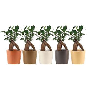 Ficus Ginseng Retusa 6 cm in Manuela (Stone Touch-collection)