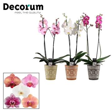 Phalaenopsis 2 tak mix in Claire (Neo Architect-collection)