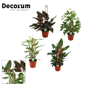 Philodendron Exclusieve Pyramide Mixkar 19 cm