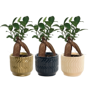 Ficus Ginseng Retusa 6 cm in Jackie (Neo Architect-collection)