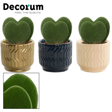 Hoya Kerrii Double 6 cm in Jackie (Neo Architect-collection)