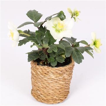 Helleborus n. Christmas Carol 7cm seagrass pot duurzaam