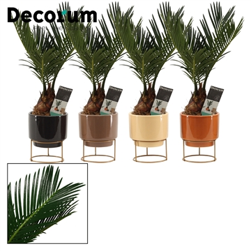 Cycas Revoluta 6 cm in Emma (Stone Touch-collection)