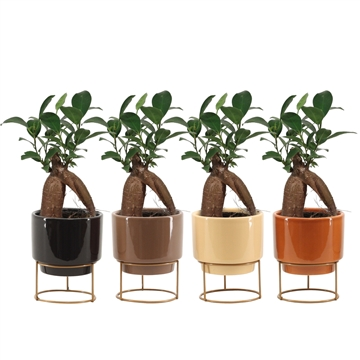 Ficus Ginseng Retusa 6 cm in Emma (Stone Touch-collection)