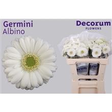 Germini water Albino