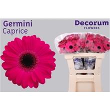 Germini water Caprice
