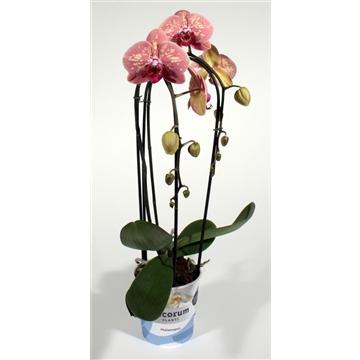 Phalaenopsis cascade 2 tak Wild Peach (Decorum)