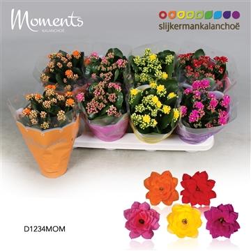 Kalanchoë Moments - 4 Colors Mix