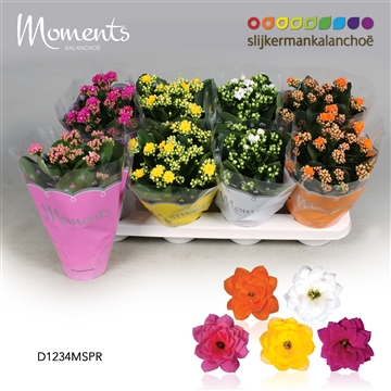 Kalanchoë Moments - Spring Moments