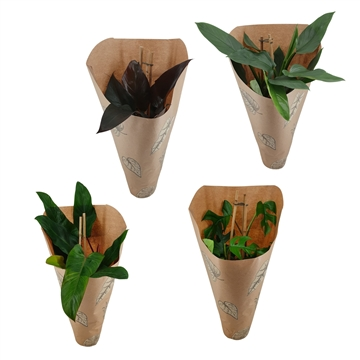 Philodendron Exclusieve Pyramide Mix 19 cm in Kraft