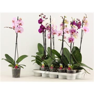 Phalaenopsis 1 tak 6+ A2