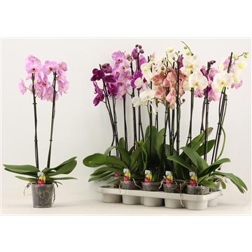 Phalaenopsis 2 tak A2