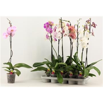 Phalaenopsis 1 tak 6+ A2 lang