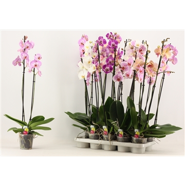 Phalaenopsis 2 tak A2 lang