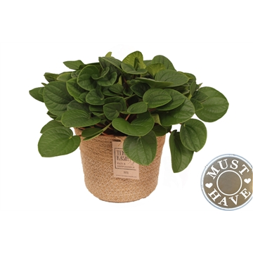 Peperomia ''Rana Verde'' in Jutte Mand 'Must Have'
