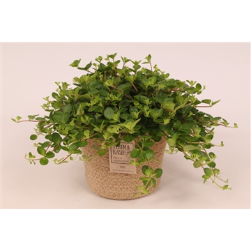 Peperomia ''Rotundifolia'' in Jutte Mand 'Must Have'