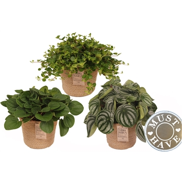 Peperomia Mix in Jutte Mand  'Must Have'