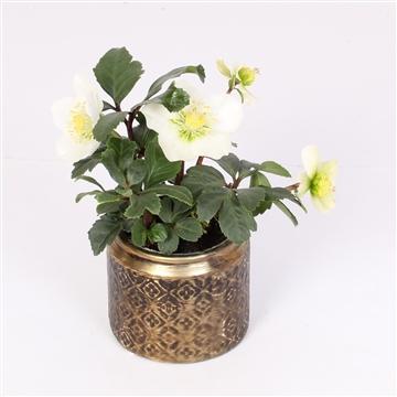 Helleborus n. Christmas Carol 7cm in ornamental pot 3 ass.