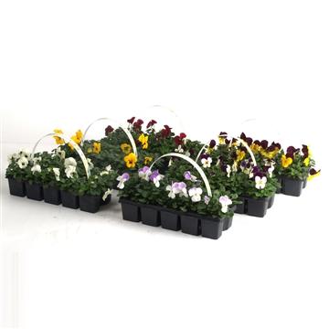 Viola Cornuta 10-pack (voorjaar)
