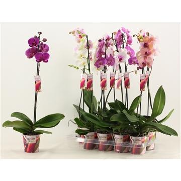 Phalaenopsis 1 tak 9+/vertakt mix lang (Scenza)