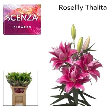 LI ROSELILY THALITA 3+ Scenza.