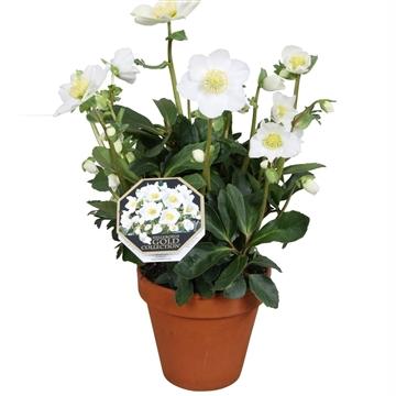 Helleborus Gold Collection® 'Wintergold' in stenen pot