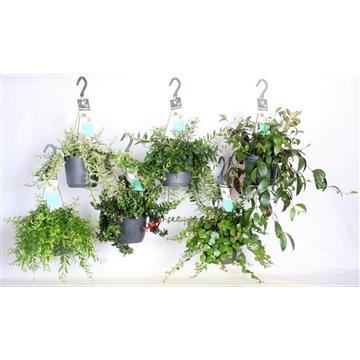 Aeschynanthus groen  gemengd