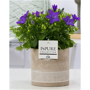 Campanula 'Napoli' Pure Jade