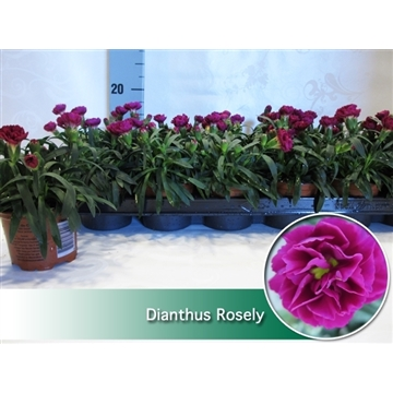 Dianthus Rosely