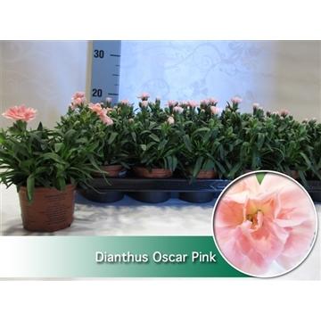 Dianthus Oscar Pink