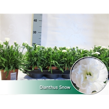 Dianthus Snow