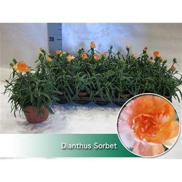 Dianthus Sorbet