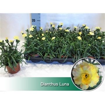 Dianthus Luna